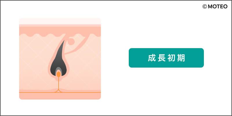 毛周期_成長初期