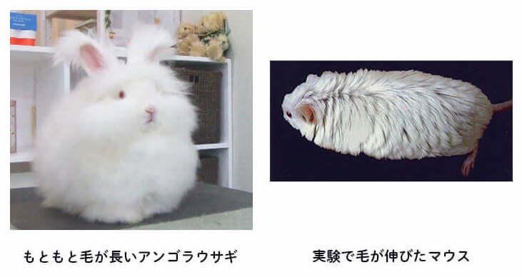 マウスの実験画像